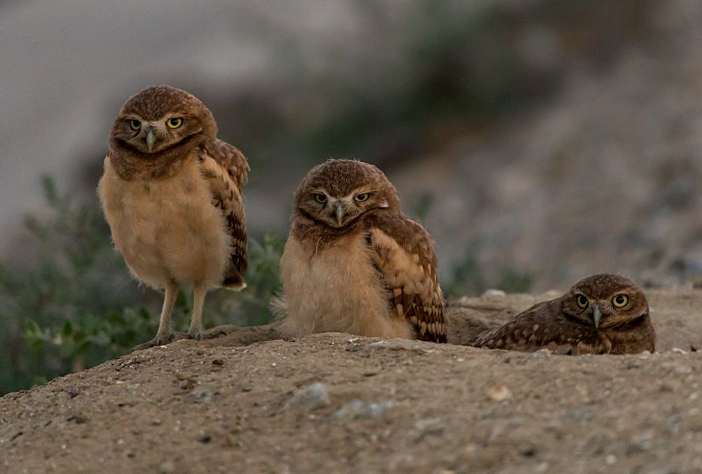 Photo in Animal #owls #burrowing #california #chill #evening #beautifulbirds #cute #tiny #adorable #beautiful #audubon #love #family #friendly