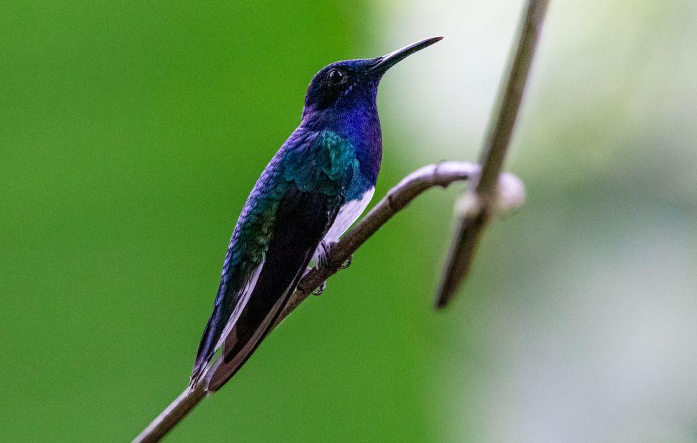 Photo in Animal #colors #jacobin #beautiful #beautifulbirds #forest #jungle #panama #rainforest #humid #vibrant #pretty
