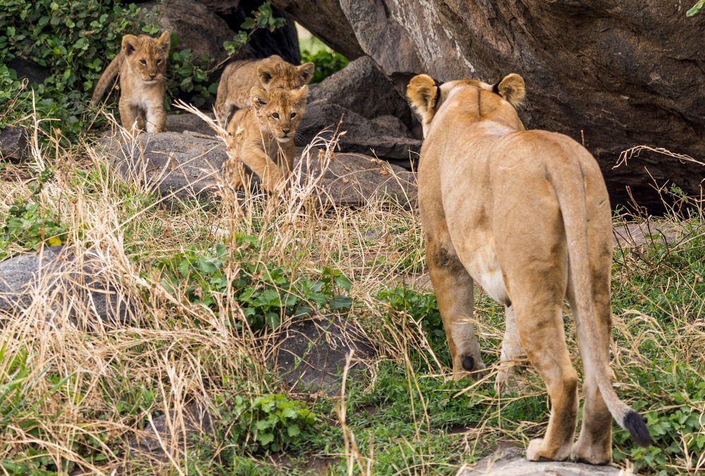Photo in Animal #lion #lioness #cubs #lunch #cute #babies #adorable #predator #bigcats #wildcats #jungle #rocks #safari #savannah #africa