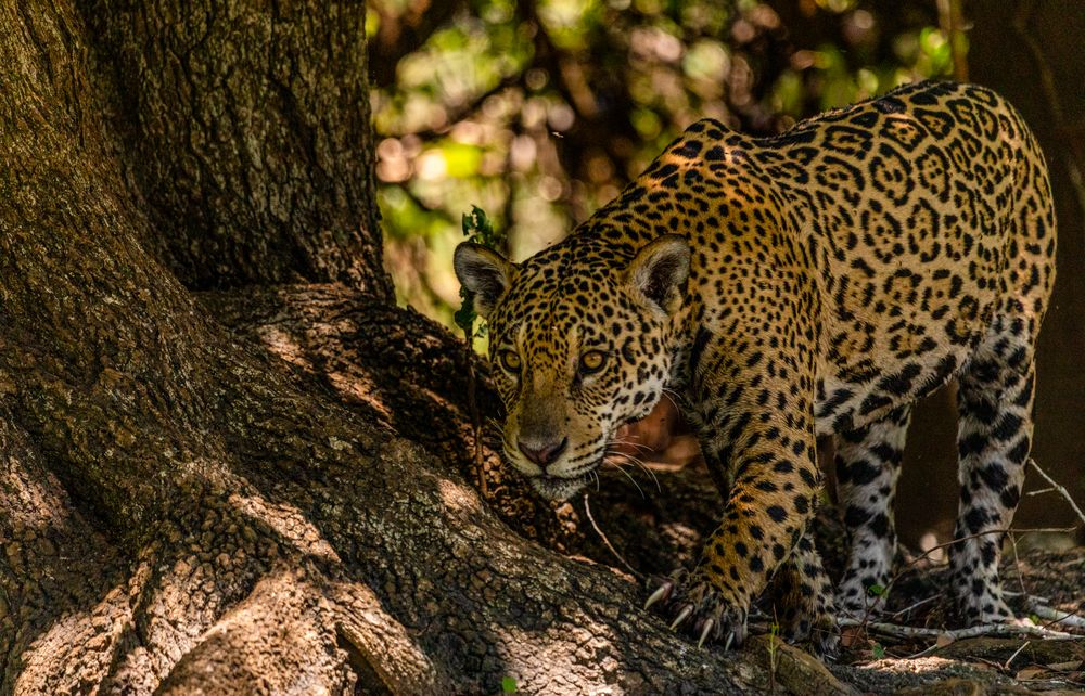 Photo in Animal #jaguar #focus #eyes #claws #sharp #beauty #deadly #forest #pantanal #brazil
