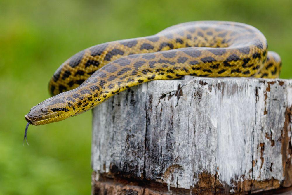 Photo in Animal #anaconda #snake #yellow #beauty #deadly #predator #reptile #pantanal #brazil #close