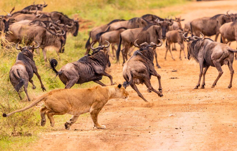 Photo in Animal #lioness #hunt #predator #prey #deadly #focus #failure #wildcats #bigcats #africa #safari #kenya #upclose #thrilling