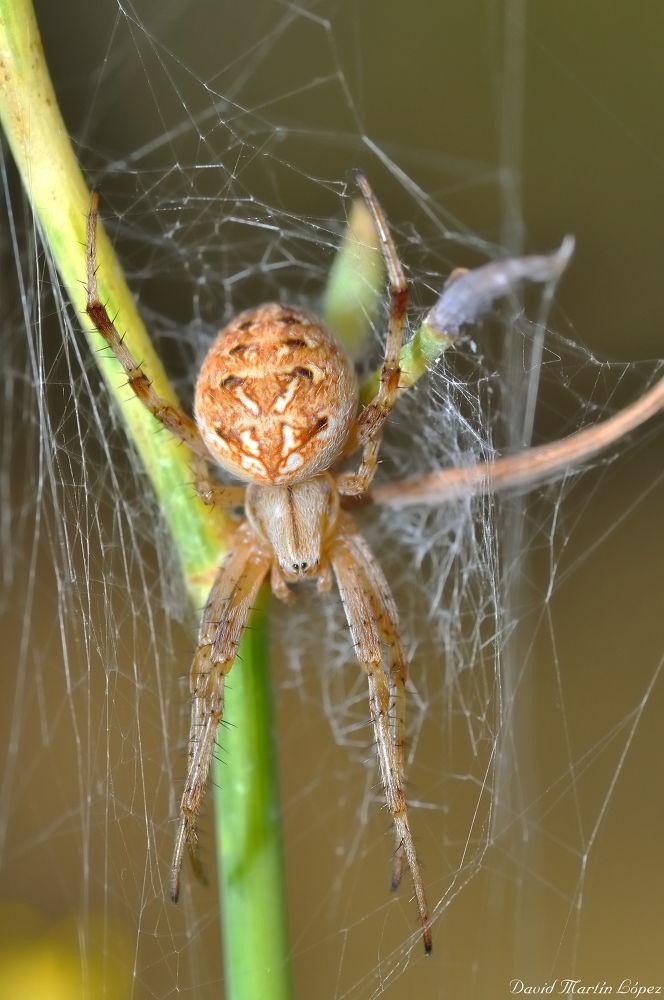 Photo in Macro #spider #macro #araña #spiderweb #neoscona adianta #telaraña