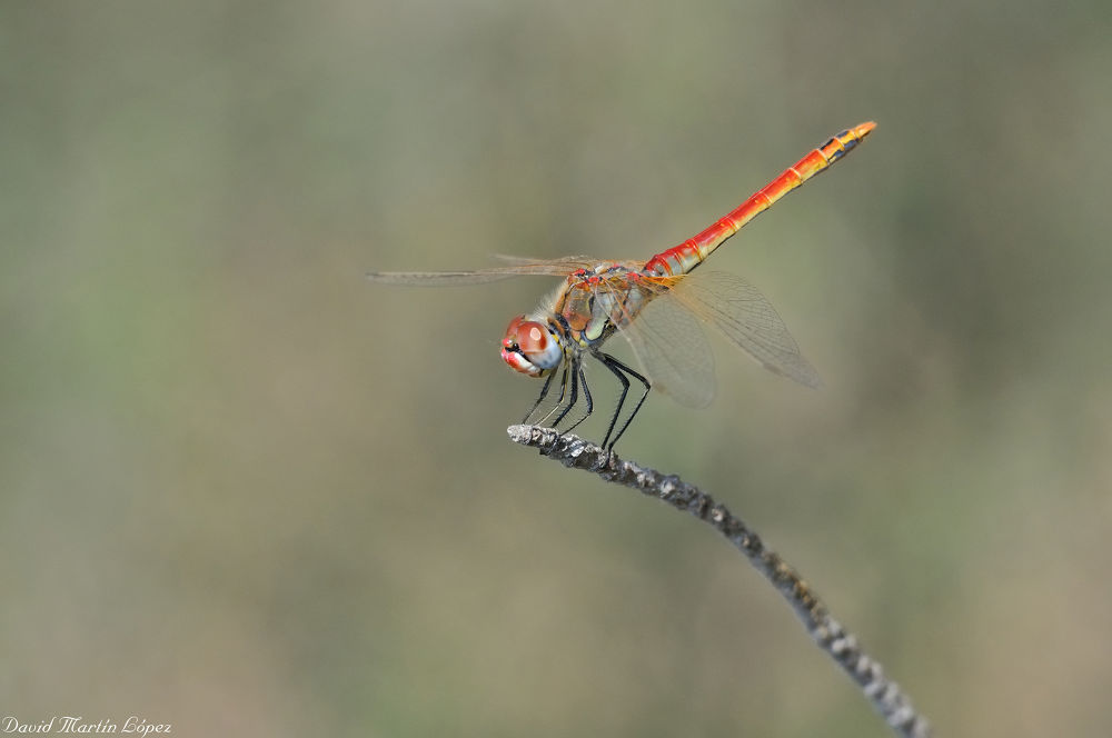 Photo in Macro #blue #dragonfly #azul #red #yellow #amarillo #libélula #rojo #sympetrum fonscolombii
