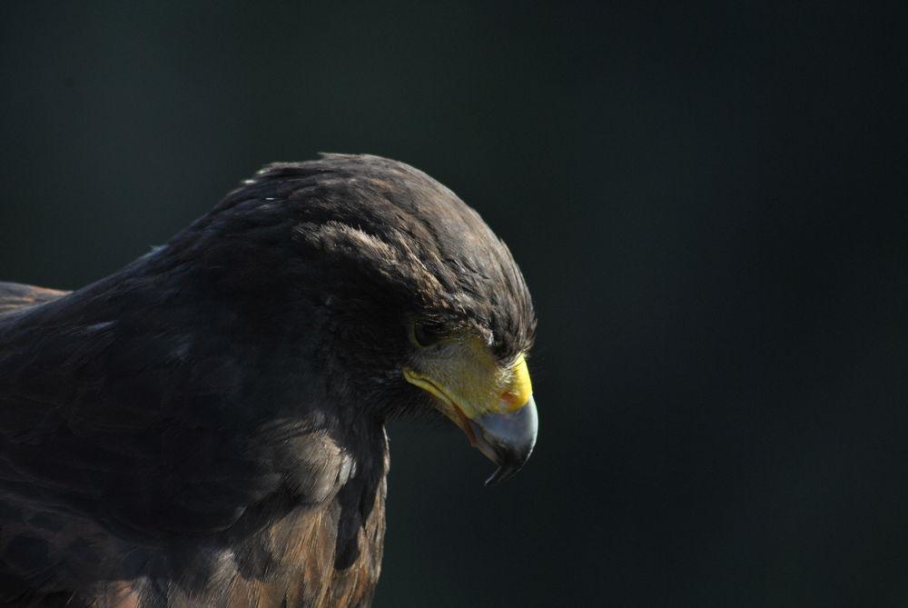 Photo in Random #wildlife #hawk #harris hawk