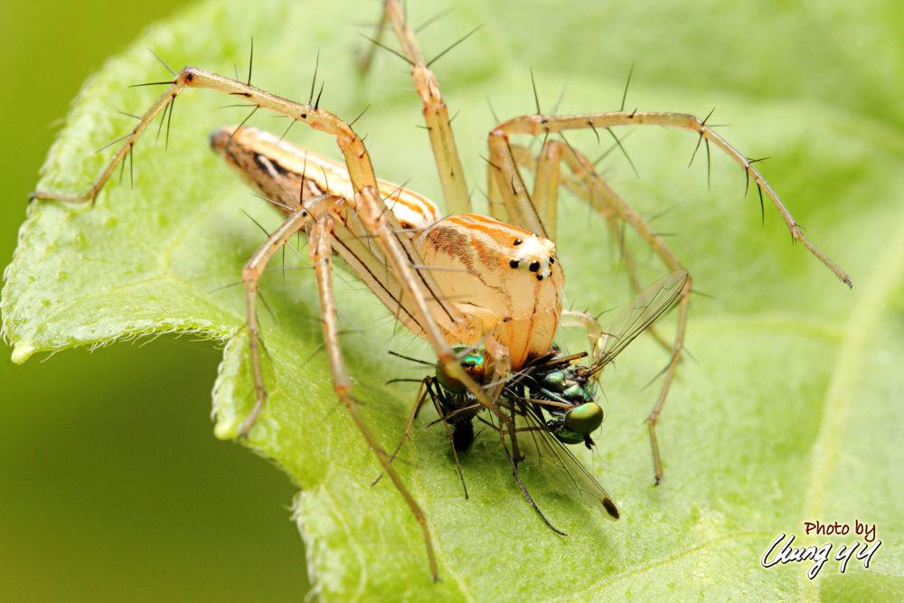 Photo in Macro #prey #canon eos 550d #canon ef 100mm f2.8l is usm #细纹猫蛛 #oxyopidae #lynx spider #cyy4993