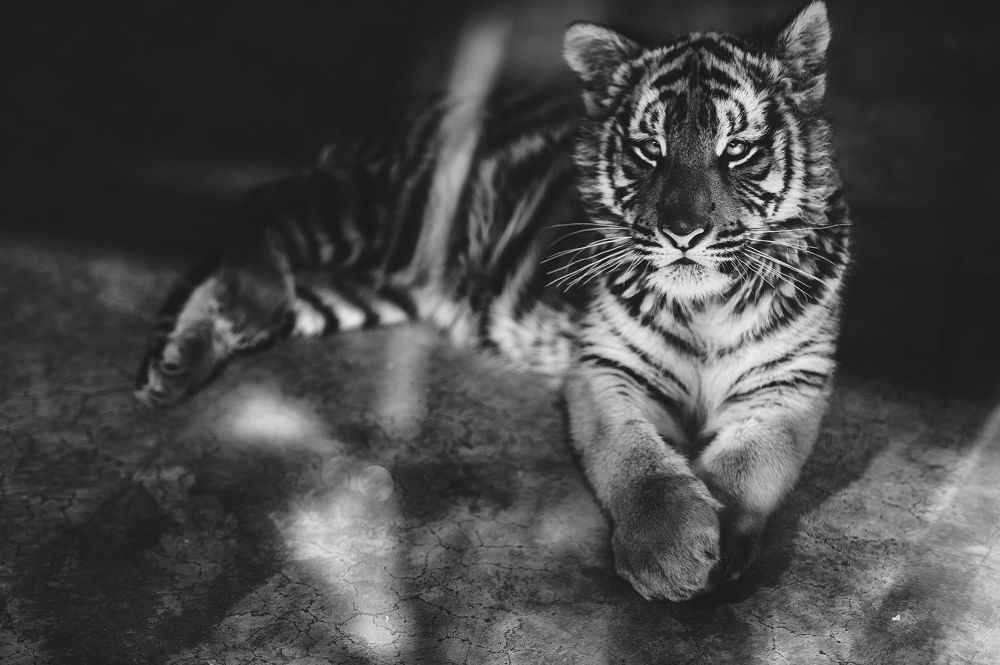 Photo in Nature #shanghai #nikon #animal #nature #tiger #china