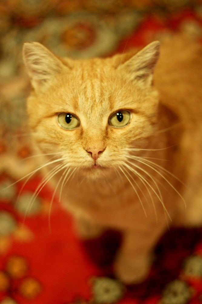 Photo in Animal #animal #beautiful #green #sweet #cat #red #cute #eyes #ginger
