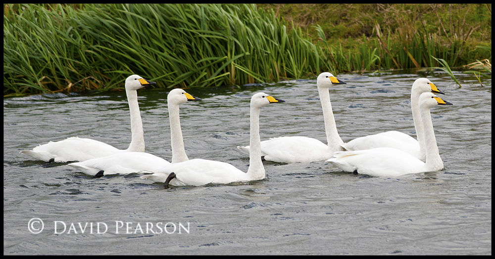 Photo in Nature #river #swans #whooper