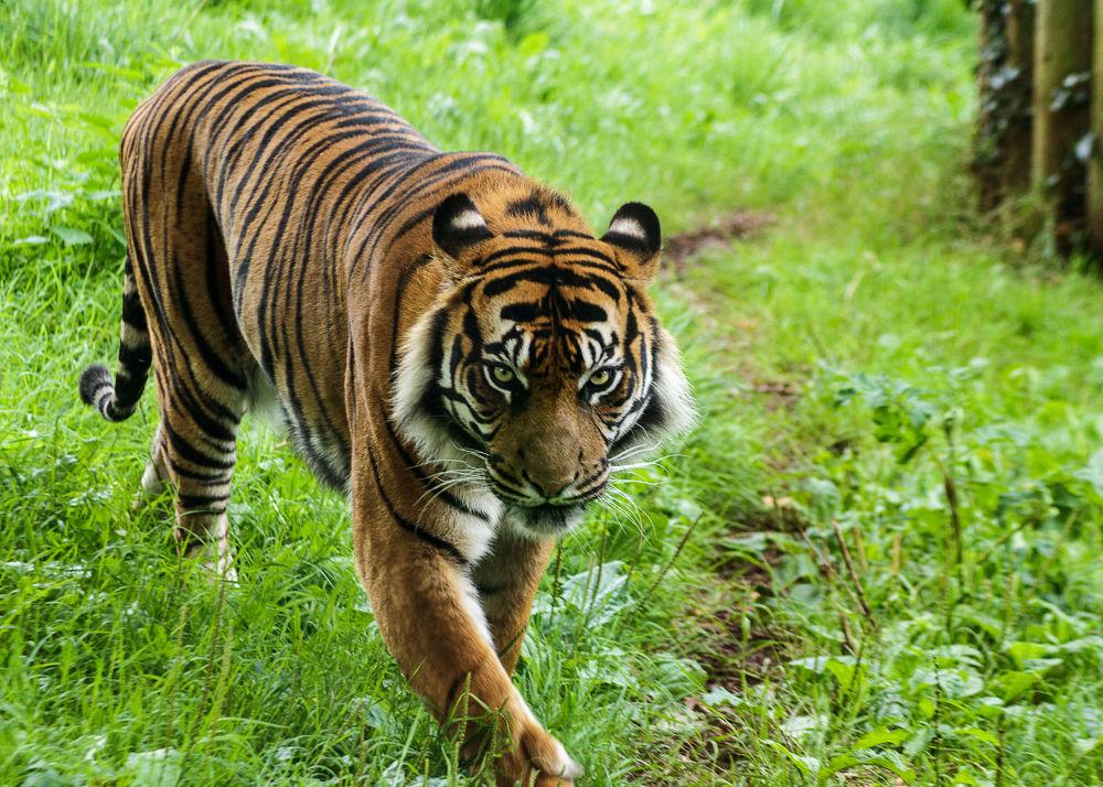 Photo in Animal #animal #cat #tiger #zoo #ourniti #damian #michalowski #paignton