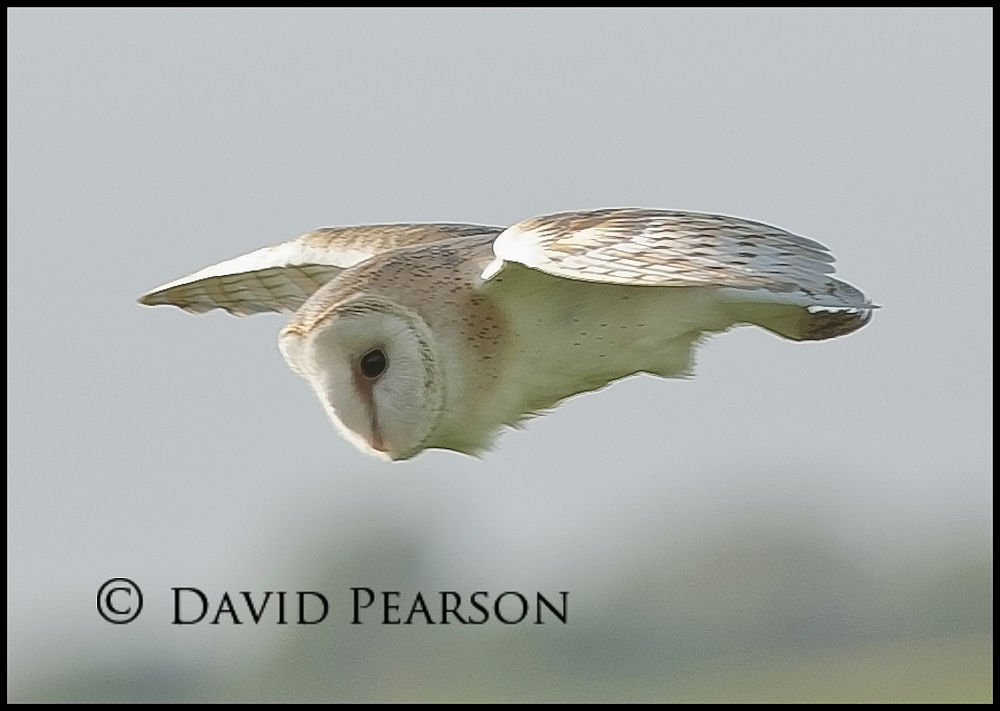 Photo in Nature #wild #barn owl #inflight #hunting