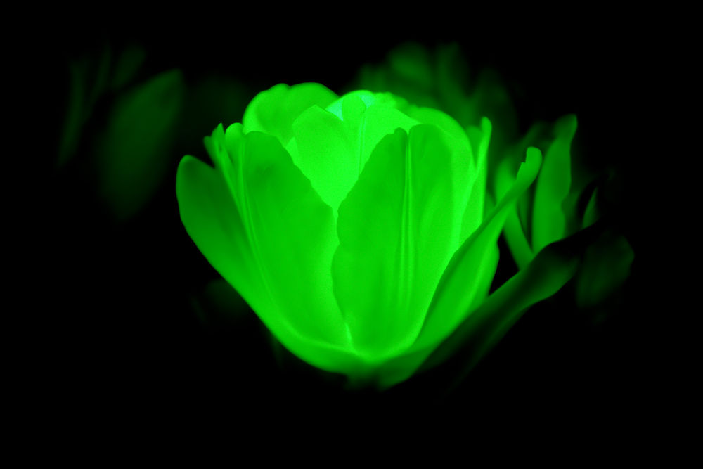 Photo in Random #flower #tulip #glowing #laser #green