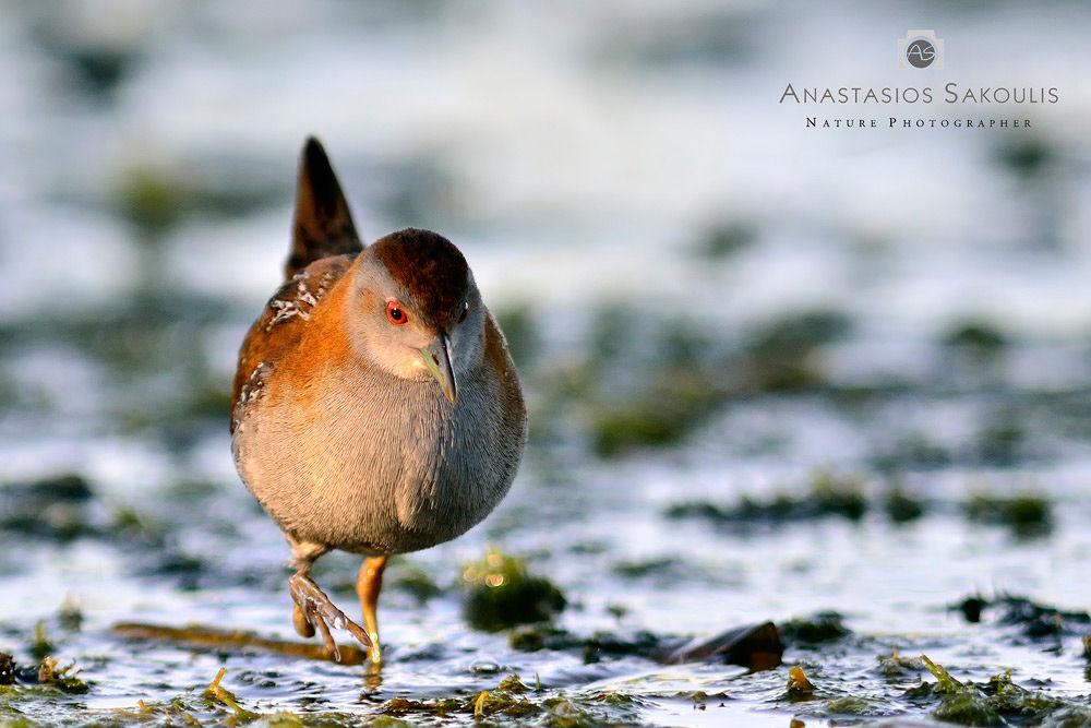Photo in Random #bird #birds #greece #wader #waders #crete #crake #baillon's crake #porzana pusilla