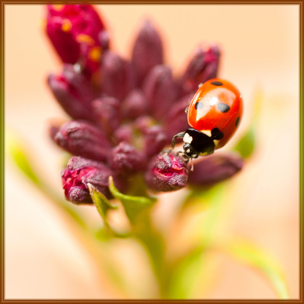 Photo in Macro #nature #macro #insects #coccinelle #lady bug
