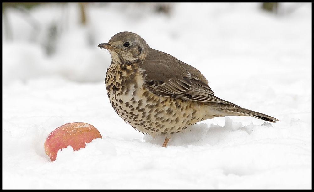 Photo in Nature #feeding #snow #garden #thrush