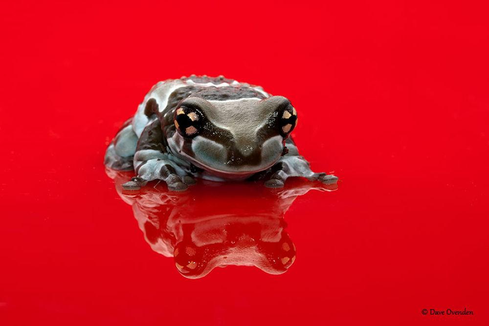 Photo in Random #frog #milk #amphibian #ovenden #amazon milk frog