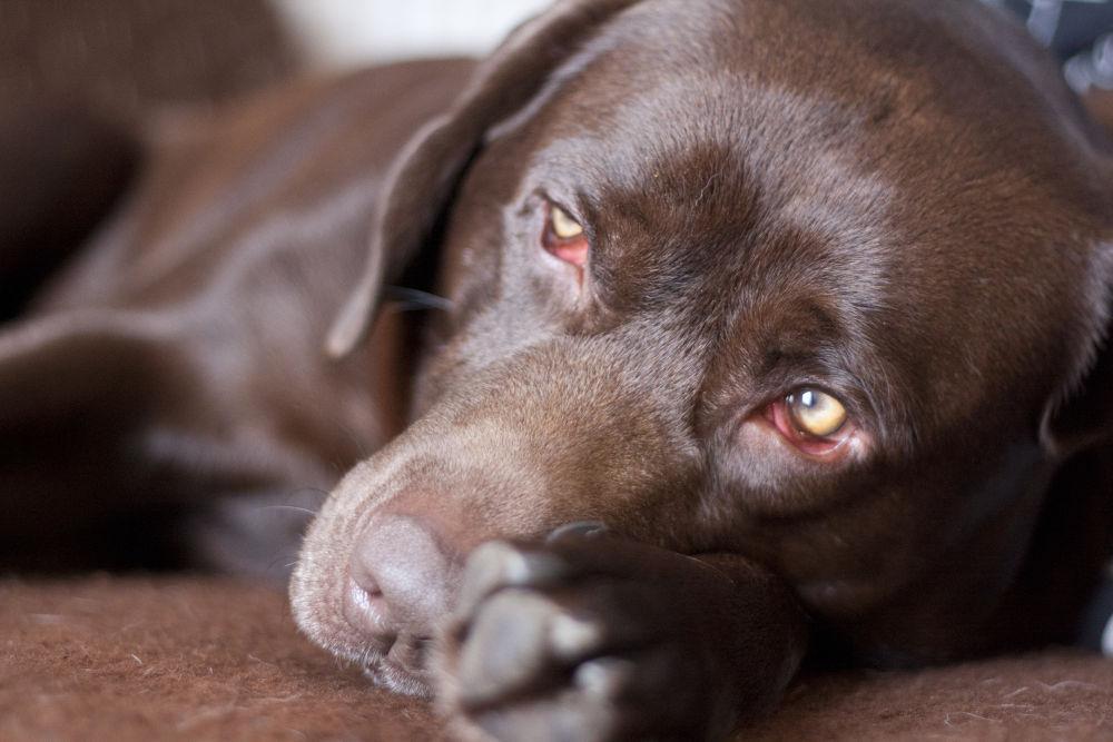 Photo in Portrait #dog #nature #portrait #labrador #labrador retriever