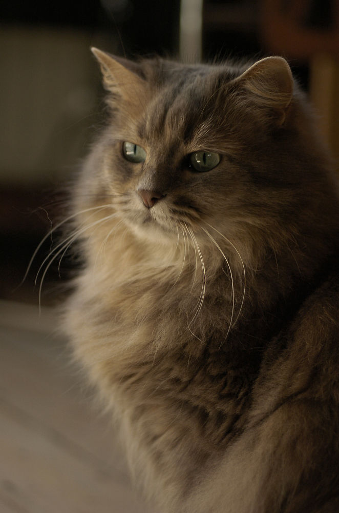 Photo in Animal #cat #portrait #chat #cosette