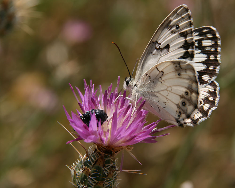 Photo in Random #insects #butterflies #shimon aluf