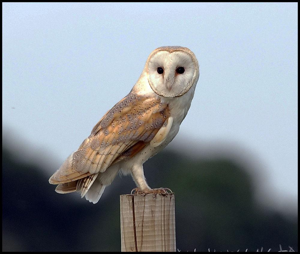 Photo in Nature #wild #barn owl #riverside