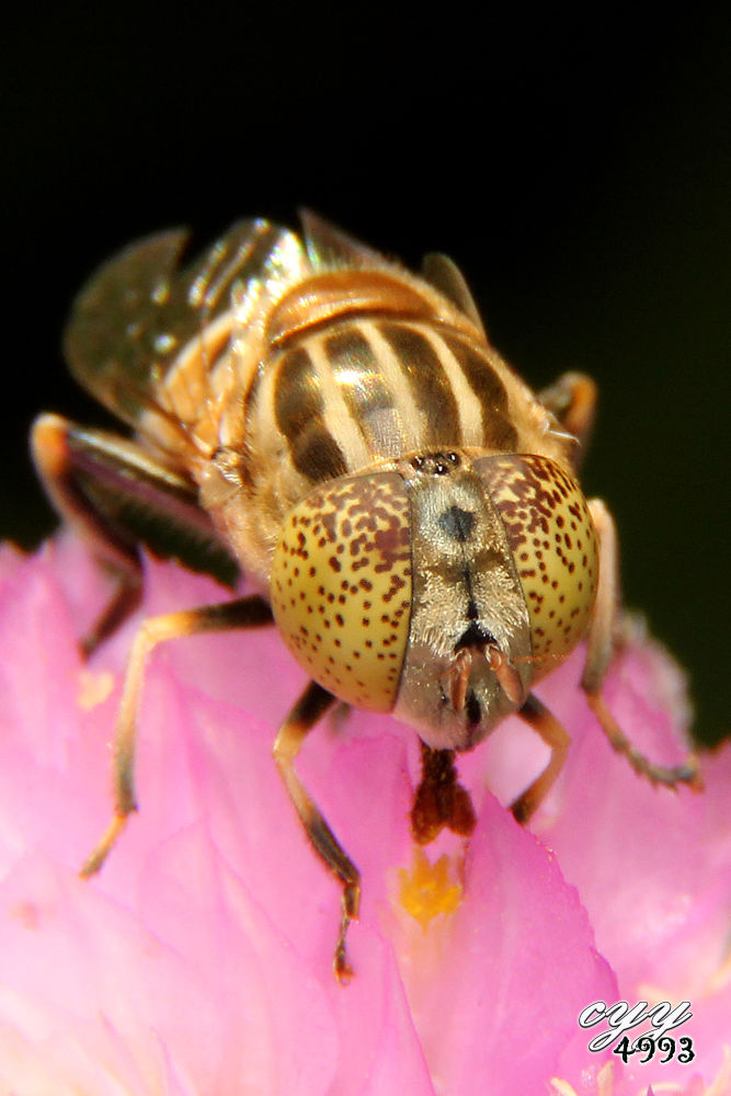 Photo in Macro #hoverfly #canon eos 550d #canon ef-s 18-135mm f3.5-5.6 i #cyy4993 #食蚜蝇 #syrphidae #斑眼食蚜蝇
