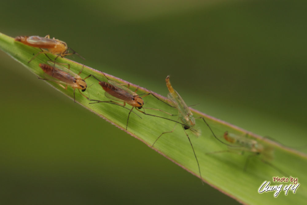Photo in Macro #insect #mosquito #canon eos 550d #canon ef 100mm f2.8l is usm #cyy4993 #蚊子 #culicidae