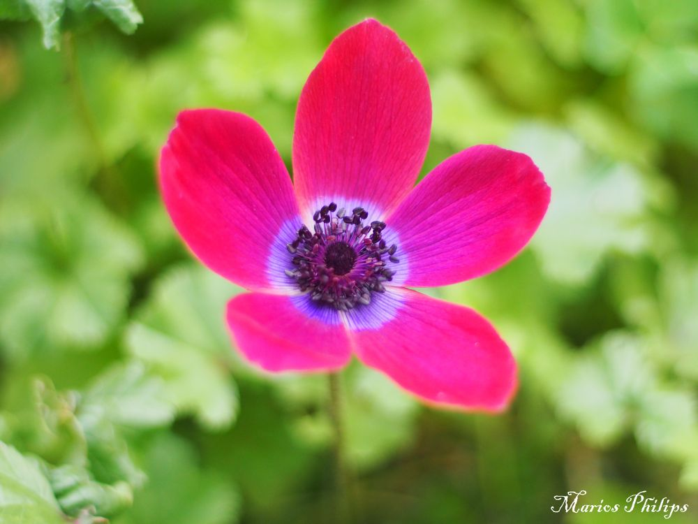 Photo in Nature #flower #nature #red #cyprus #limassol