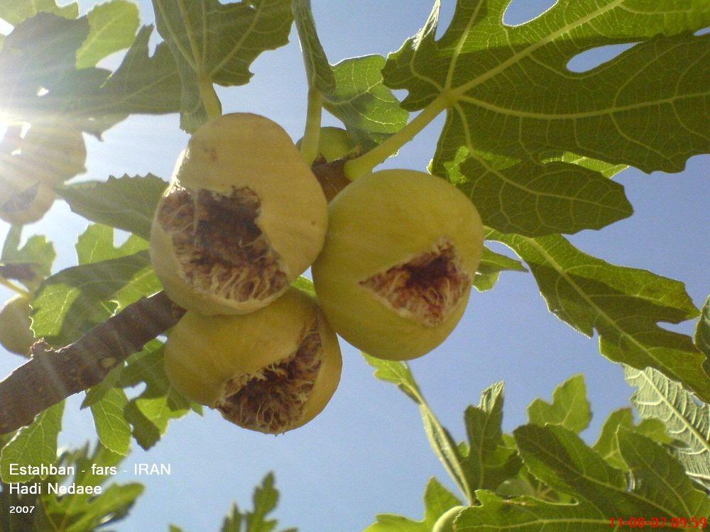 Photo in Random #iran #fars #tree #persia #fig