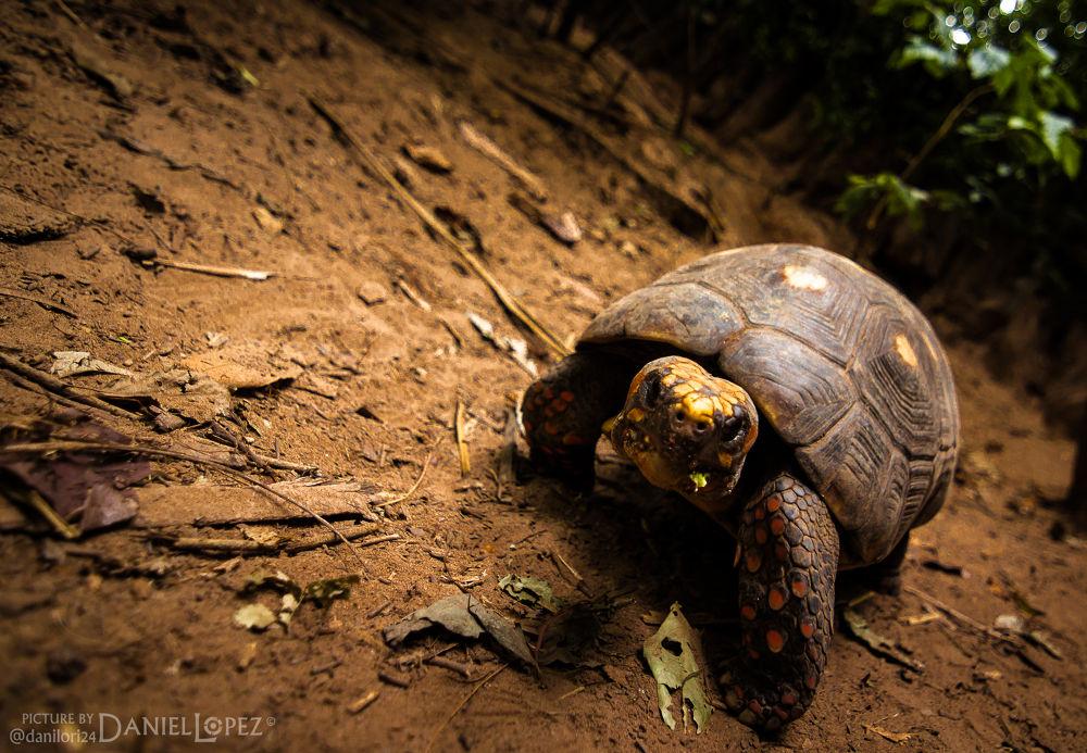 Photo in Nature #animal #turtle #nature #looking #walk #naturaleza #tortuga