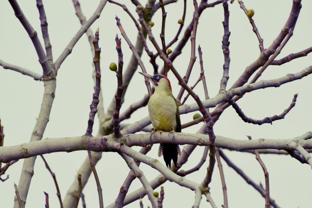Photo in Nature #london #bird #nature #garden #tree #home #animals #fig tree #green woodpecker
