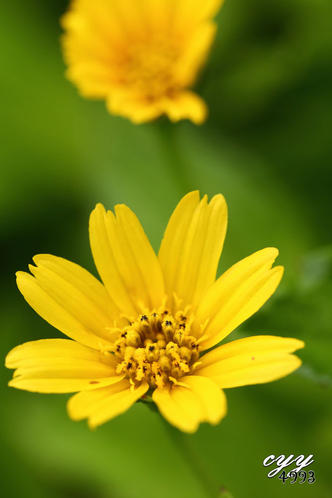Photo in Macro #flower #canon ef 100mm f2.8l is usm #cyy4993 #canon eos 6d #creeping daisy #asteracaeawedelia trilobata #asteracaea #裂叶蟛蜞菊