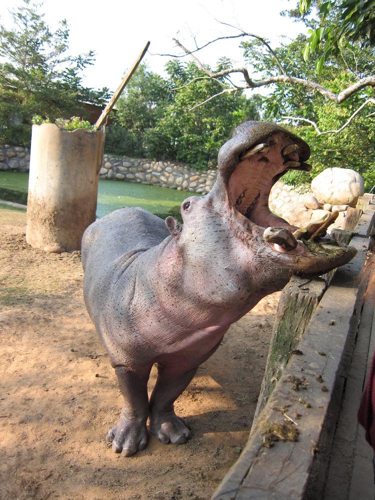 Photo in Random #hippo
