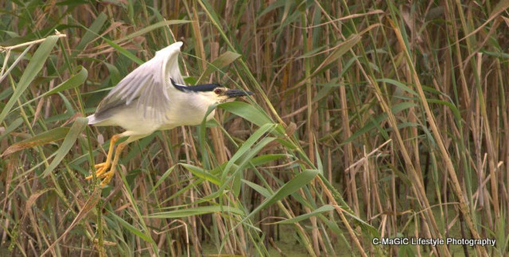 Photo in Random #birds #heron #cape town #night heron #water bird